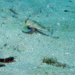 pesce gallinella 13 150x150 Pesce gallinella
