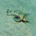 pesce gallinella 14 150x150 Pesce gallinella