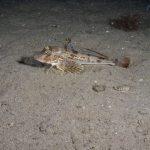 pesce gallinella 19 150x150 Pesce gallinella