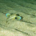 pesce gallinella 22 150x150 Pesce gallinella