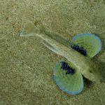 pesce gallinella 23 150x150 Pesce gallinella