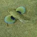 pesce gallinella 24 150x150 Pesce gallinella