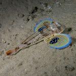 pesce gallinella 32 150x150 Pesce gallinella