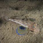 pesce gallinella 33 150x150 Pesce gallinella