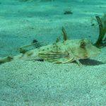 pesce gallinella 35 150x150 Pesce gallinella