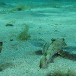 pesce gallinella 36 150x150 Pesce gallinella