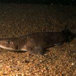 pesce gattuccio 19 150x150 Scyliorhinus canicula, Pesce gattuccio