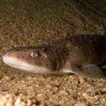 pesce gattuccio 21 150x150 Scyliorhinus canicula, Pesce gattuccio
