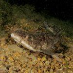 pesce gattuccio 30 150x150 Scyliorhinus canicula, Pesce gattuccio