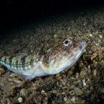 pesce lucertola 23 150x150 Synodus saurus, Pesce lucertola
