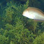 pesce pettine 02 150x150 Xyrichthys novacula, Pesce pettine