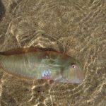 pesce pettine 05 150x150 Xyrichthys novacula, Pesce pettine