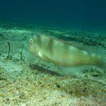 pesce pettine 15 150x150 Xyrichthys novacula, Pesce pettine