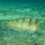 pesce pettine 16 150x150 Xyrichthys novacula, Pesce pettine
