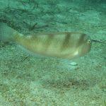 pesce pettine 17 150x150 Xyrichthys novacula, Pesce pettine