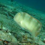 pesce pettine 19 150x150 Xyrichthys novacula, Pesce pettine