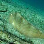 pesce pettine 20 150x150 Xyrichthys novacula, Pesce pettine