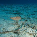 pesce pettine 21 150x150 Xyrichthys novacula, Pesce pettine