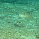 pesce pettine 22 150x150 Xyrichthys novacula, Pesce pettine