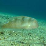 pesce pettine 25 150x150 Xyrichthys novacula, Pesce pettine