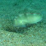pesce pettine 30 150x150 Xyrichthys novacula, Pesce pettine