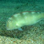 pesce pettine 31 150x150 Xyrichthys novacula, Pesce pettine