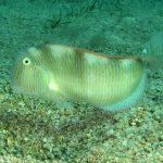 pesce pettine 32 150x150 Xyrichthys novacula, Pesce pettine