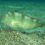 pesce pettine 34 150x150 Xyrichthys novacula, Pesce pettine