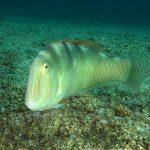 pesce pettine 37 150x150 Xyrichthys novacula, Pesce pettine