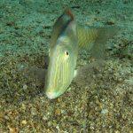 pesce pettine 38 150x150 Xyrichthys novacula, Pesce pettine