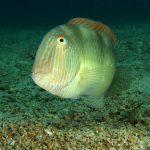 pesce pettine 39 150x150 Xyrichthys novacula, Pesce pettine