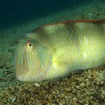 pesce pettine 40 150x150 Xyrichthys novacula, Pesce pettine