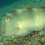 pesce pettine 41 150x150 Xyrichthys novacula, Pesce pettine