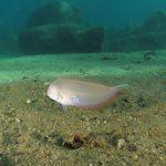 pesce pettine 46 150x150 Xyrichthys novacula, Pesce pettine