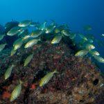 pesce salpa 80 150x150 Sarpa salpa   Pesce salpa
