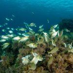pesce salpa 83 150x150 Sarpa salpa   Pesce salpa