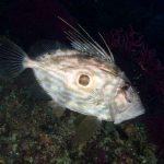 pesce-san-pietro-02