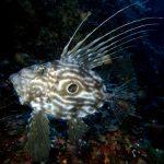 pesce san pietro 07 150x150 Zeus faber, Pesce san pietro