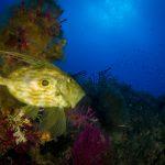 pesce san pietro 18 150x150 Zeus faber, Pesce san pietro
