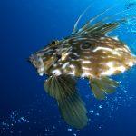 pesce san pietro 28 150x150 Zeus faber, Pesce san pietro