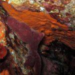 petrosia 32 150x150 Petrosia ficiformis   Spugna petrosia