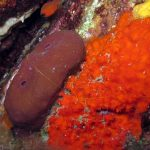 petrosia 34 150x150 Petrosia ficiformis   Spugna petrosia