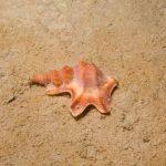 piede di pellicano 04 150x150 Prosobranco piede di pellicano