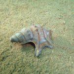 piede di pellicano 12 150x150 Prosobranco piede di pellicano