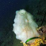 pigna di mare 16 150x150 Phallusia mamillata   Ascidia pigna di mare