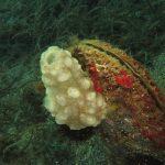 pigna di mare 27 150x150 Phallusia mamillata   Ascidia pigna di mare
