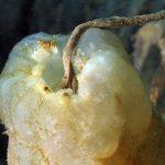 pigna di mare 38 150x150 Phallusia mamillata   Ascidia pigna di mare