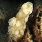 pigna di mare 53 150x150 Phallusia mamillata   Ascidia pigna di mare