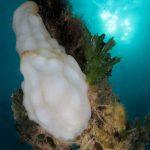 pigna di mare 63 150x150 Phallusia mamillata   Ascidia pigna di mare