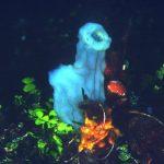pigna dimare 03 150x150 Phallusia mamillata   Ascidia pigna di mare